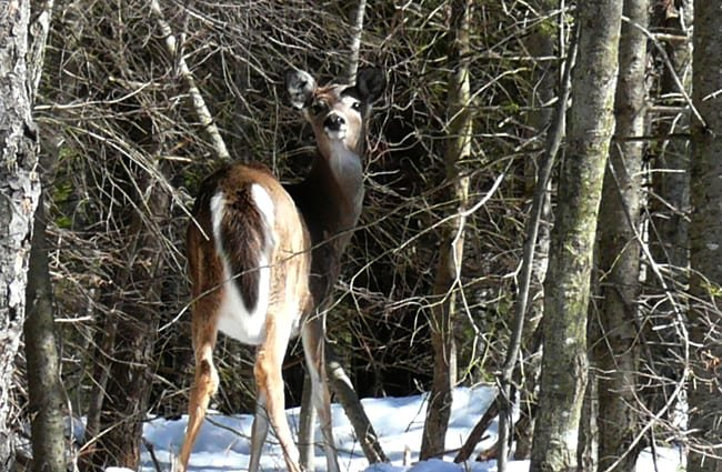 Whitetail deer. Photo by: Jennifer Aitkens https://creativecommons.org/licenses/by-nd/2.0/