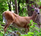 Large Whitetail Deer Doe In The Forest.