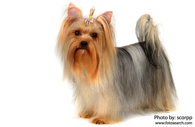 Yorkshire Terrier Description Energy Level Health Image And Interesting Facts