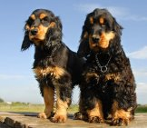 Purebred English Cocker Spaniels, Black And Tan. Photo By: (C) Cynoclub Www.fotosearch.com