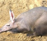 Aardvark In Profile. Notice The Longer Hair On His Hind Legs Photo By: (C) Pauws99 Www.fotosearch.com