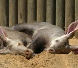 Two Aardvarks Napping In The Afternoon Sun. Photo By: (C) Rhallam Www.fotosearch.com