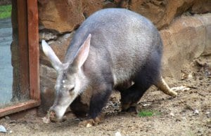 Aardvark in a zoo, ambling along the enclosure.Photo by: Marie Halehttps://creativecommons.org/licenses/by/2.0/