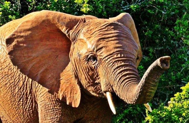 Closeup of an African elephant.