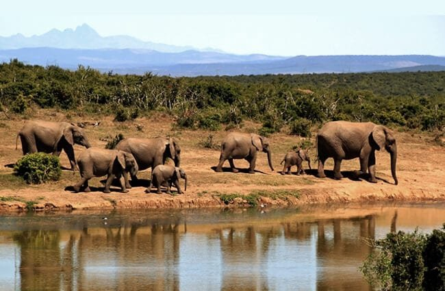 A herd of African elephants near the water hole.