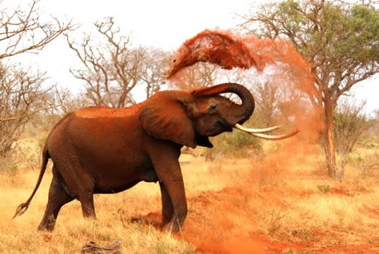 African elephant covering itself in dirt.