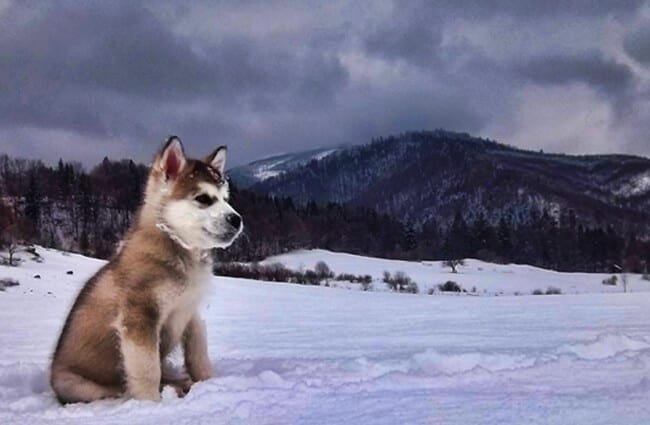Alaskan malamute puppy, looking to his ancestors. Photo by: Michal Sanitra https://creativecommons.org/licenses/by-nd/2.0/