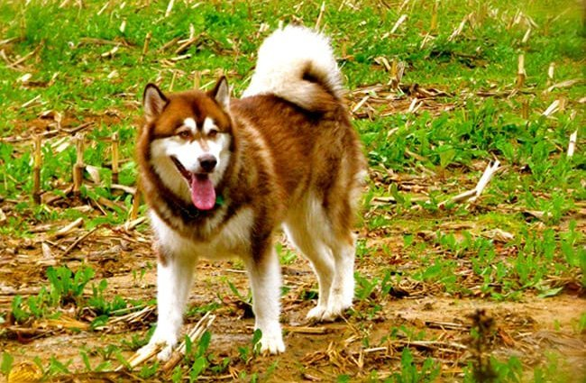 Beautiful red Alaskan malamute. Photo by: Jeff Gunn https://creativecommons.org/licenses/by-nd/2.0/