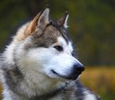 Closeup Of An Alaskan Malamute.