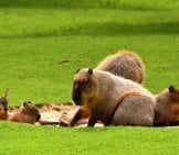 Capybara Family Group.