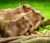 A Family Of Capybaras In A Meadow.