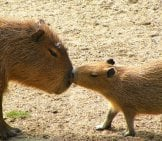 Mother And Baby Capybara.