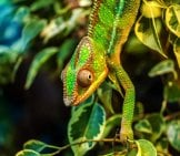 Chameleon In Green Foliage.