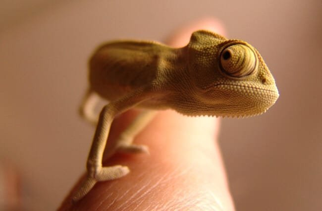 Tiny Chameleon on the tip of a finger.
