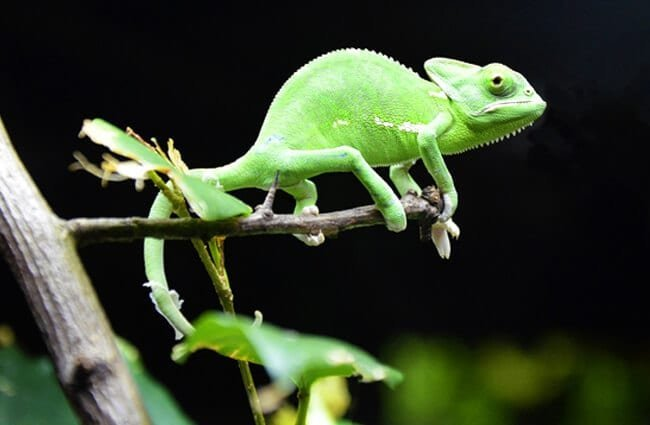 Small green Chameleon on a tiny branch.