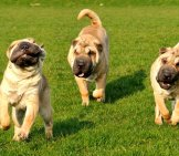 A Trio Of Young Chinese Shar[Pei Digs Running In The Yard.