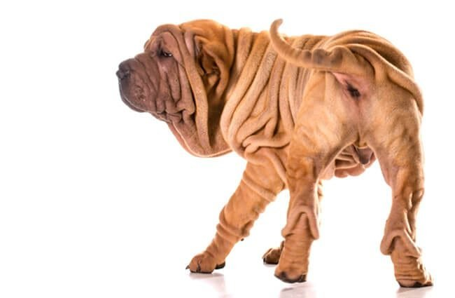 Chinese shar-pei from the rear.Photo by: (c) Colecanstock www.fotosearch.com