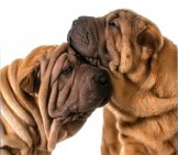 Two Chinese Shar-Pei Puppies Cuddling. Photo By: (C) Colecanstock Www.fotosearch.com
