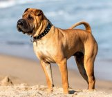 Chinese Shar-Pei Dog On The Beach. Photo By: (C) Digoarpi Www.fotosearch.com
