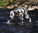 Beautiful Dalmatian Crossing The River. Photo By: Maja Dumat //creativecommons.org/licenses/by/2.0/