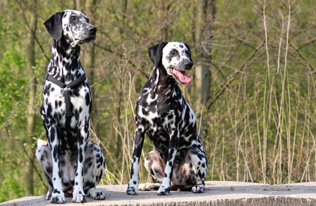 A stunning pair of Dalmatian dogs. Photo by: Maja Dumat //creativecommons.org/licenses/by/2.0/