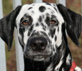 Closeup Of The Dalmatian Face.photo By: Maja Dumat//creativecommons.org/licenses/by/2.0/