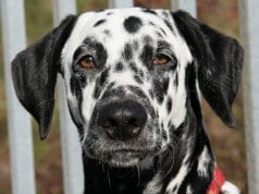 Closeup of the Dalmatian face.Photo by: Maja Dumathttps://creativecommons.org/licenses/by/2.0/