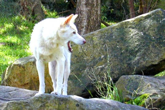 Photo of a rare white dingo.Photo by: Davidhttps://creativecommons.org/licenses/by/2.0/