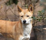 Dingo. Photo By: Teri Tynes //creativecommons.org/licenses/by/2.0/