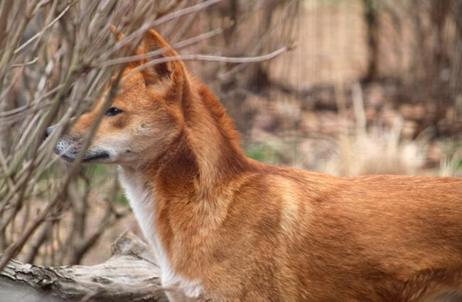 Profile of a wild dingo. Photo by: Teri Tynes //creativecommons.org/licenses/by/2.0/