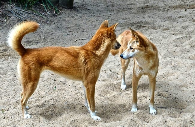 A pair of wild dingoes.