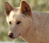 Close Up Of A Wild Dingo.