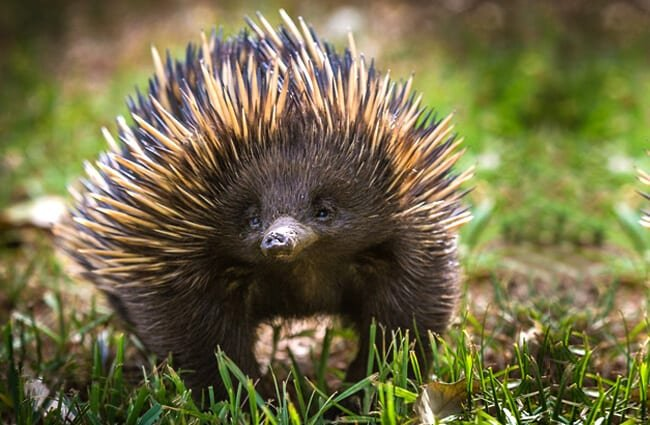A short-beaked echidna with his find in the grass.