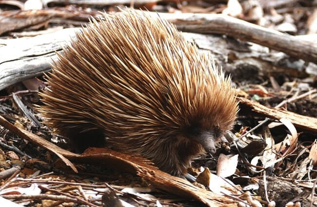 Echidna searching for food between leaves.
