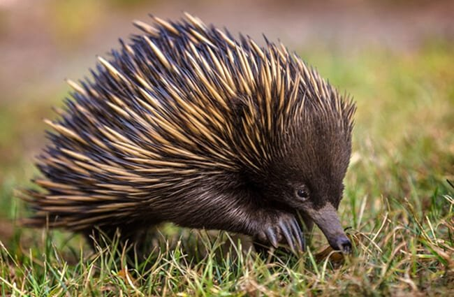 A short-beaked echidna scavenging for food.