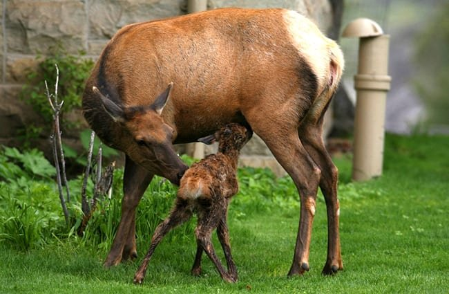 Mother elk with her new baby.