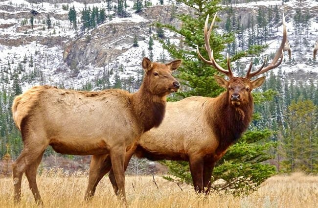A mating pair of Elk in a mountain meadow.