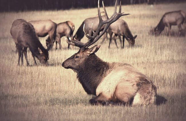 A stunning bull elk showing off his rack of antlers.