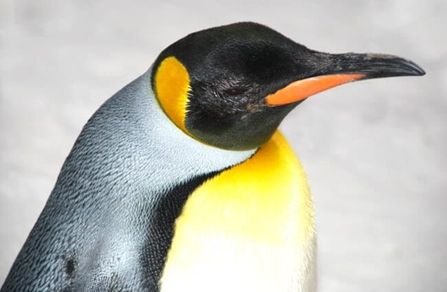 Emperor Penguin in profile. Photo by: (c) WilliamJu www.fotosearch.com