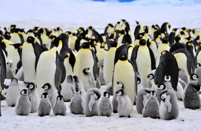 Emperor Penguins at Snow Hill, Antarctica. Photo by: (c) vlad2000 www.fotosearch.com