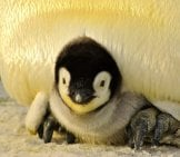 Baby Emperor Penguin Peeking Out From Under His Father's Protective Mass.