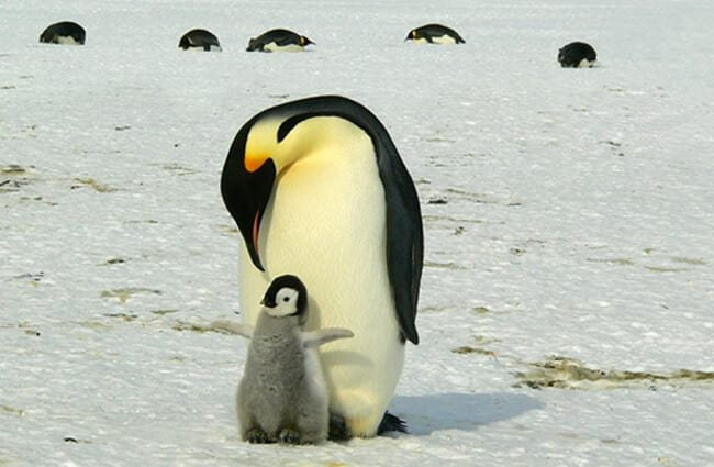 Father and child Emperor Penguin.