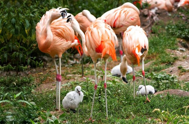 A flamboyance of flamingos -notice the grey chicks!