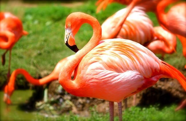 The stunning colors of a healthy flamingo.