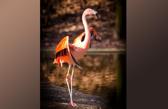 A flamingo showing off his sleek, long legs, and perfect balance.