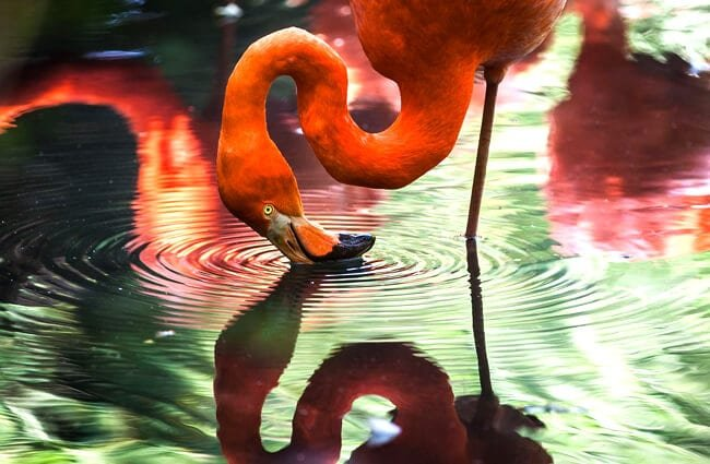 Flamingo feeding with head upside down.