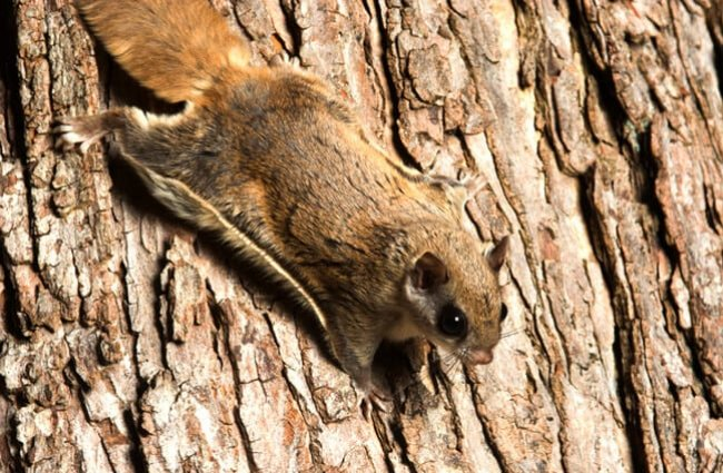 Southern flying squirrel clinging to a tree. Photo by: (c) EEI_Tony www.fotosearch.com