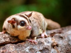 Small flying squirrel on a branch.Photo by: (c) kapongza www.fotosearch.com