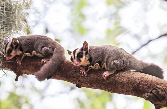 A pair of flying squirrels on a tree branch. Photo by: (c) rujitop www.fotosearch.com