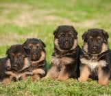 A Litter Of German Shepherd Puppies. Photo By: (C) Zorandim Www.fotosearch.com